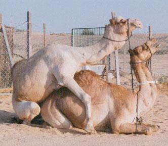 La monta en los camellos se desarrolla en posición de cuclillas. El macho continuamente rechina sus dientes y esparce una copiosa cantidad de saliva sobre la hembra.