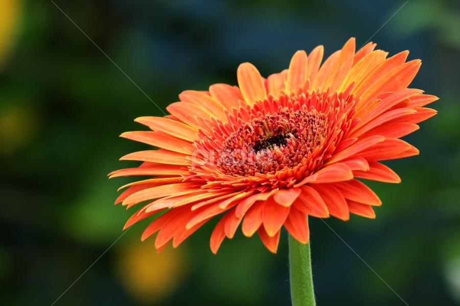 by TRINETRINI RAMESHA - Flowers Single Flower ( orrange, single flower, flower,  )