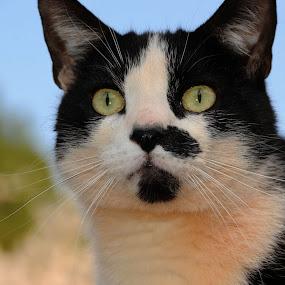 ~Mickey~ by Kim Welborn - Animals - Cats Portraits