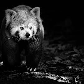 Little Panda by Miloš Hudarin - Black & White Animals ( panda, red panda, animal, wildlife )
