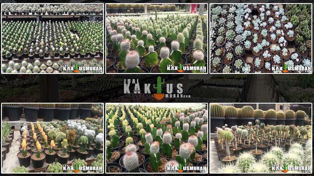 Jual Kaktus Murah Kaktus Mini Kaktus Hias Souvenir