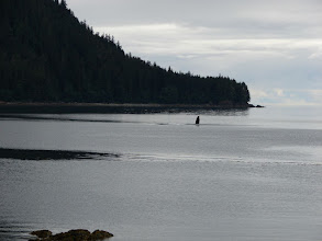 Photo: A whale shows his pectoral fin in Sand Bay.