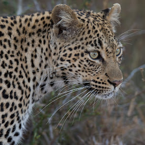 Miss Kitty by Dawie Nolte - Animals Lions, Tigers & Big Cats ( cat whiskers, cat eyes, whiskers, female leopard, leopard,  )