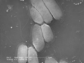 Photo: ESEM image of aligned bacteria (Serratia marcescens)