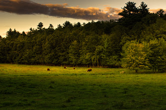 Photo: Cows doing what cows do  #365project curated by +Simon Kitcher+Patricia dos Santos Patonand +Vesna Krnjic  #landscapephotography curated by +Margaret Tompkins+Carra Riley+paul t beard+Ke Zengand +David Heath Williams