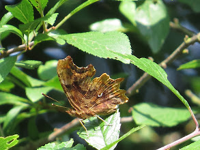 Photo: 18 Jul 13 Priorslee Lake: I photographed the upper wings of a Comma butterfly earlier this week. Ever wondered how it got its name? Wonder no more. (Ed Wilson)