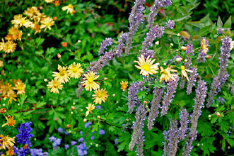 Photo: Clara Curtis Chrysanthemum with Anise-Hyssop - great for butterflies and drough tolerant.