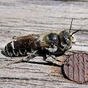 Unknown wild bee