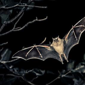 ... by Matheus Dalmazzo - Animals Other Mammals ( itapetininga, bat, morcego )