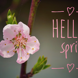 HELLO spring by Dunja Milosic Odobasic - Typography Quotes & Sentences