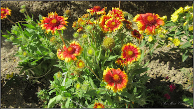 Photo: Str. Baladei, Fluturei (Gaillardia aristata) - 2017.06.10