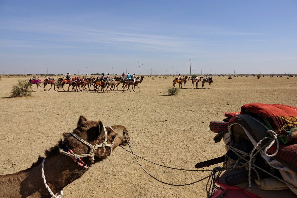India. Rajasthan Thar Desert Camel Trek. Camels and guides heading to the water hole