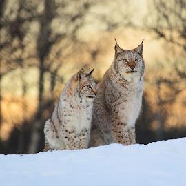 Lynx in golden hour by Anngunn Dårflot - Animals Other Mammals