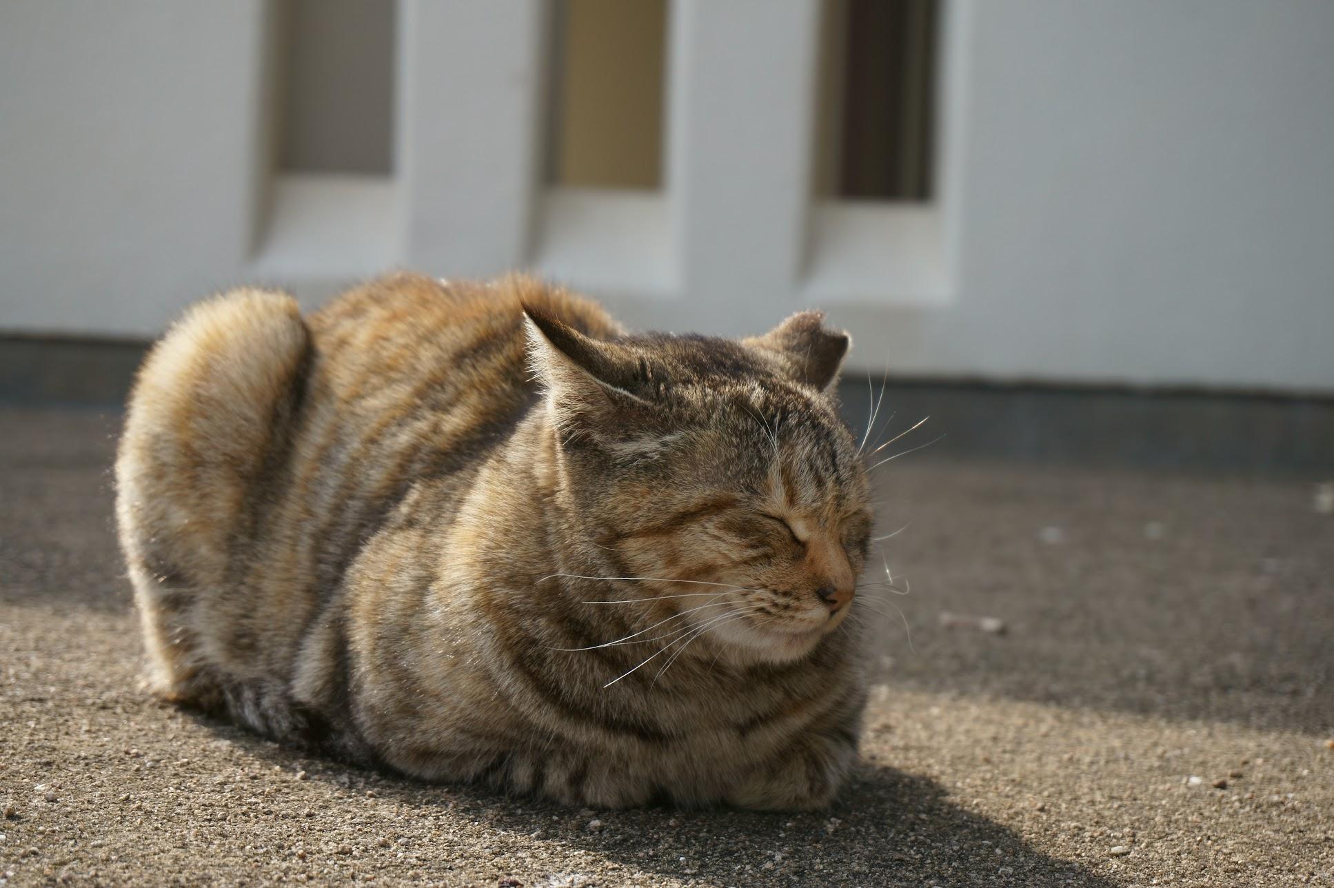 大塚海岸のキジトラ猫