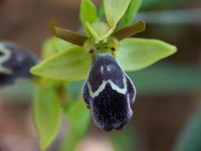 Photo: Ophrys dyris