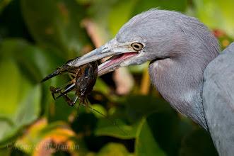 Photo: Little blue heron catches a crayfish- Corkscrew Swamp Sanctuary