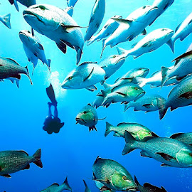 The Red Sea, Ras Mohammed by Peter Driessel - Animals Fish