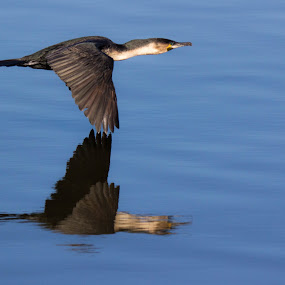 Flyby by Ailsa Burns - Animals Birds ( water, flying, cormorant, sea birds, birds )