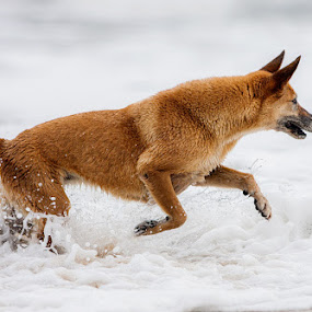 Ocean by Felipe Mairowski - Animals - Dogs Running ( mare, cachorro, ocean, oceano, dog, perro )