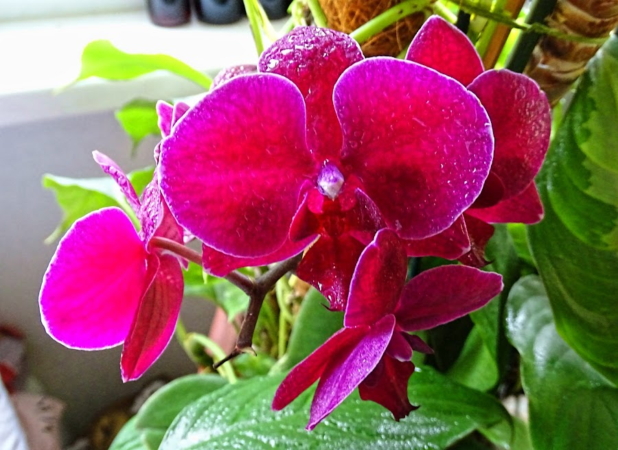 Orchid by Tihomir Beller - Flowers Single Flower
