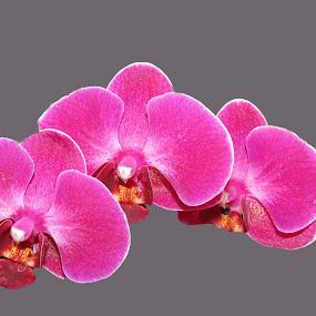 Orchids by Marissa Enslin - Flowers Flower Buds