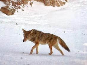 Photo: Coyote - Tejon Ranch Conservancy