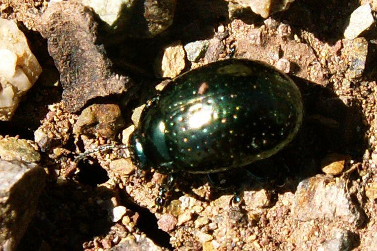 St. John's Wort Leaf beetle