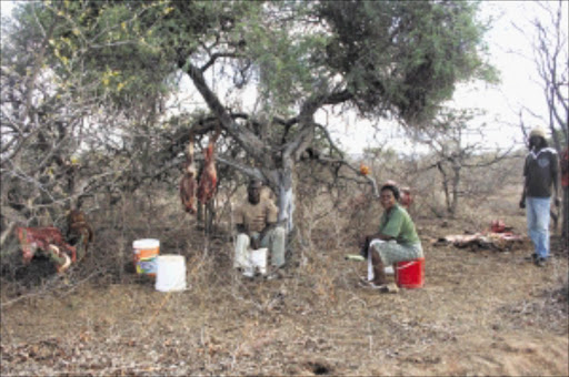 DRY SEASON: Limpopo farmers say the government should step in to help those farmers who h ave experienced livestock deaths due to the prolonged drought.Pic: Chester Makana. © Sowetan.