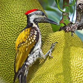 Flameback Woodpecker by Nikhil Paul - Uncategorized All Uncategorized