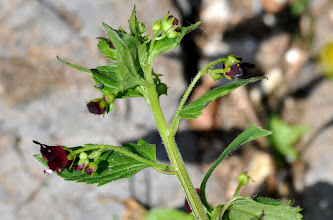 Photo: Scrophularia peregrina L. (Scrophulariaceae), Nettle-leaved Figwort
