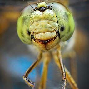 Eyes of DragonFly by Gaurav Madhopuri - Novices Only Macro ( canon, punjab, nature, macor, wildlife, india, eyes )