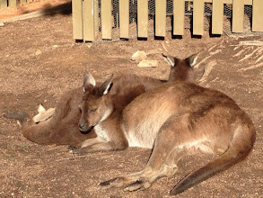 Photo: Day 6: Sleeping kangaroos