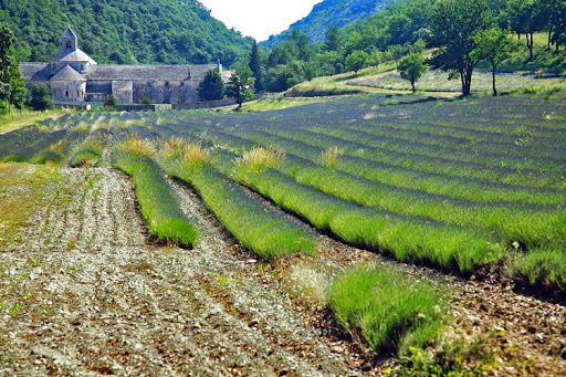 """A shot of the iconic lavender fields in Provence, in the South of France. See it on AmaWaterways' 2017 """"Provence and Spain"""" itinerary with rates starting at $2,899 per person."""