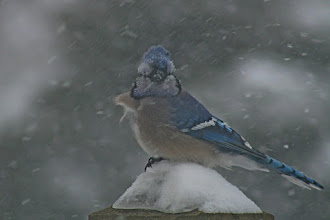 Photo: For #BirdPoker : Cuteness Factor curated by +Phil Armishaw  and #CaptionthisThursday curated by +Jenness Dory Asby  Another Blue Jay, this time having all kinds of fun in the snowy weather.