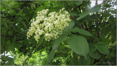 Photo: Soc (Sambucus nigra) - din Turda, Calea Victoriei, Nr.19, spatiu verde - 2019.05.21