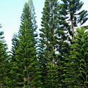 Cook Tree/Pine