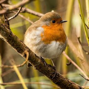 robin by Sean Kirkhouse - Animals Birds ( bird, robin, nature, wildlife, small )