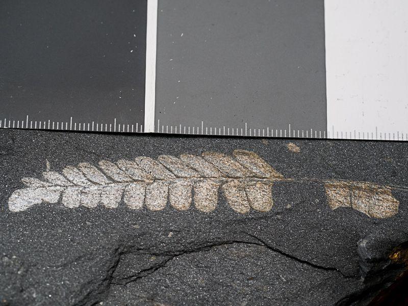 Flore Carbonifère des Alpes Françaises part 1 - Page 5 OOrq4dYlPmSw56LK4A3AiNU0rieRv-tJXiYt0gKc0_Os4hQdHZ9KCcG9kxtY1qUOAq4MX2ufvay7ZQ=w1920-h1080-no