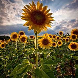 Sunflower Wallpaper HD Android Apps on Google Play