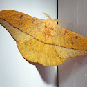 Helfer's Window Moth
