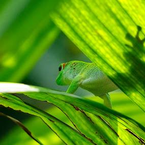 Gekko by Max Molenaar - Animals Reptiles ( reptiles, animals, nature, wildlife, gekko )