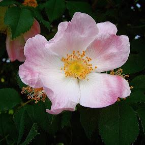 Pink beauty by Nat Bolfan-Stosic - Flowers Single Flower ( home, pink, beauty, garden, flower )