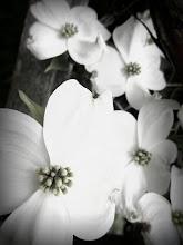 Photo: Black and white photo of bright dogwood blossoms at Wegerzyn Gardens in Dayton, Ohio.