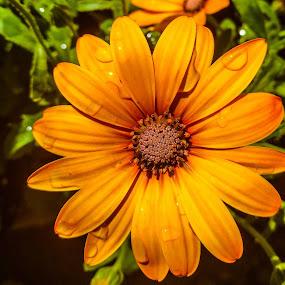 Yellowy orange osterium by Sam Kirimli - Nature Up Close Gardens & Produce