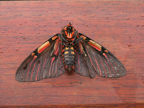 Photo: A very colorful (and cold) moth I found outside my cabaña one morning at Wayqecha.
