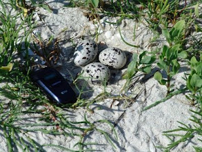 Photo: Oystercatcher Nest
