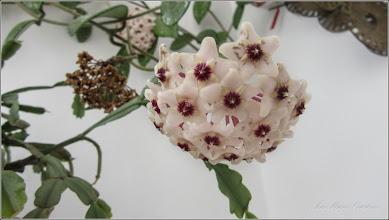 Photo: 2016.07.22 - Floarea de ceara (Hoya carnosa)