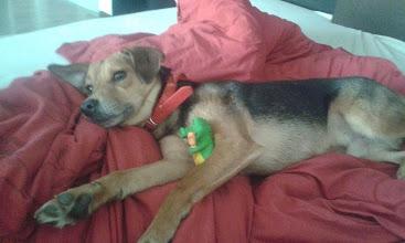 Photo: Kostek jest najukochańszy na świecie zawsze się przytula i śpi ze mną. Jesteśmy w trakcie tresury