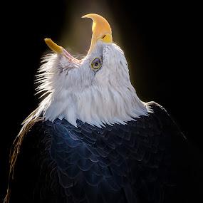 Bald Eagle by John Sinclair - Animals Birds ( eagle, raptor )