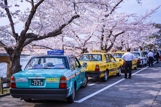 Photo: Taxi cabs and drivers wait beneath the Sakura for visitors to Okayama Castle